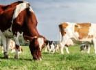 Il latte sardo è salvo. Ma ecco cosa succede se vince il «sì» al referendum