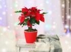 La Stella di Natale, è bella ma pericolosa