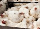 Devastante influenza aviaria: 3 milioni e mezzo di polli infettati. È emergenza