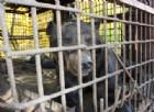 Un orso è stato ucciso e poi servito in un ristorante cinese