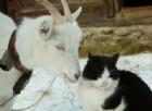 il gattino aiuta la capra durante il parto