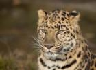 Lo scontro tra un leopardo e un serpente boa