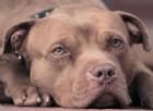 Un pitbull, un cane ritenuto pericoloso