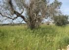 140mila ulivi sono stati distrutti dalla Xylella.