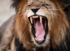 Un evento inconsueto: un leone attacca un leopardo. Il video