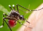 Dengue, aumentano i casi in Italia