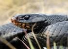 Un serpente cannibale si divora un altro serpente e poi lo rigurgita vivo. Il video