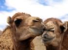 La coppia di cammelli fa l'amore sulla strada e blocca il traffico. Il video