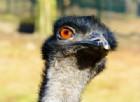 Le proprietà dell'olio di Emu