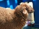 Famiglia viaggia con pecora in roulotte, interviene Asl