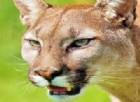 Puma in giardino come animali domestici