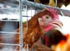 Aviaria: pericolo uova e polli provenienti da Padova. Blocco importazioni da Hong Kong