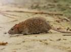 Peste bubbonica in Madagascar, è allarme internazionale. Le preoccupazioni dell'OMS