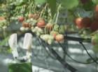 Il robot per le fragole stampato in 3D è il futuro per la vertical farming