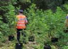 Arrestati due giovani per coltivazione di Marijuana. Avevano già intascato 80mila euro