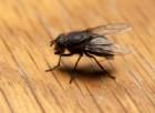 Le mosche sono un veicolo di batteri pericolosi per l'uomo: ne ospitano oltre 600