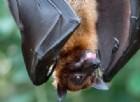 I pipistrelli possono portare la rabbia