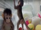 Ecco le prime due scimmiette clonate come la pecora Dolly: cambieranno il futuro della medicina?