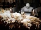 Confermato il primo caso umano di influenza aviaria H7N4