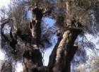 Sale a 93 il numero degli alberi monumentali tutelati dalla Regione