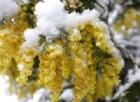 La fioritura anticipata salva l'80% delle mimose dal gelo