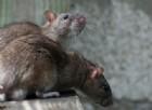 C'è un virus mortale trasmesso dai topi. Una giovane mamma lotta tra la vita e la morte