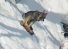 La foto del lupo