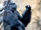 La questione dei gorilla e degli algoritmi «razzisti» di Google