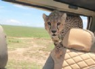 Africa, incontro ravvicinato con un ghepardo