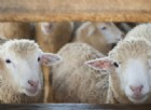 La Sclerosi multipla potrebbe essere causata dalle pecore