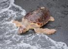 Salvate e curate, 5 tartarughe marine Caretta Caretta ritornano la mare!
