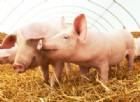 Il virus mortale dei maiali ora potrebbe attaccare l'uomo
