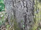 """Processionaria della quercia al parco di Portofino: """"Attenzione specie più pericolosa"""""""