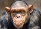 Ecco perché siamo diversi dagli scimpanzé