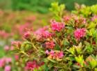Le splendide fioriture di rododendri selvatici, arnica e maggiociondoli