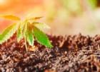 Cannabis vietata? Intanto sono aumentati di 10 volte i terreni coltivati
