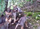 Ecco come giocano i lupacchiotti nati in Friuli