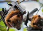 Il ritorno di Ebola, scoperto nei pipistrelli un nuovo virus letale