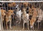 Basta mangiare i cani, il governo di Hanoi esorta gli abitanti a smettere di mangiare carne di cane e gatto