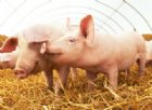 Allarme per la carne di maiale con peste suina importata in Italia dal Belgio