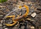 Neonata viene punta 7 volte da uno scorpione mortale
