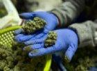 La cannabis light che non fa male