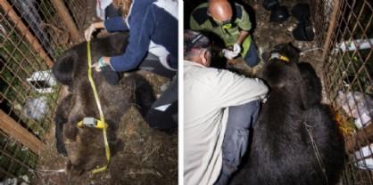 Elisio, il nuovo orso catturato in Carnia per dotarlo di radicolare satellitare