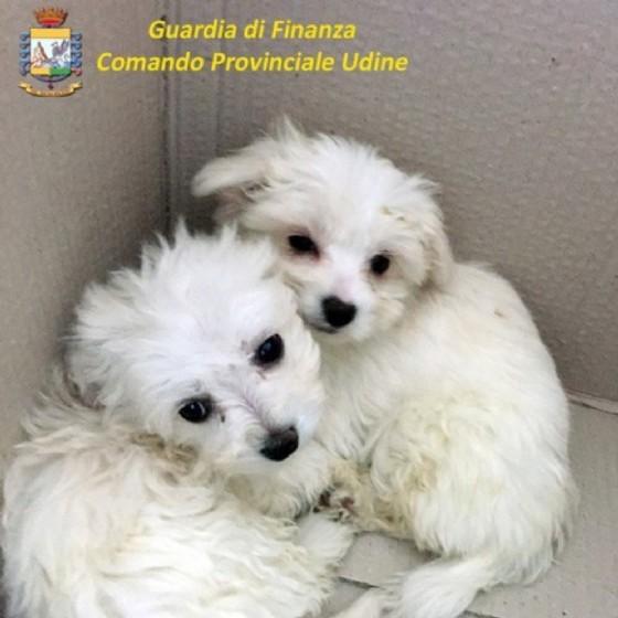 I cuccioli sequestrati dalla Gdf (© Guardia di Finanza)
