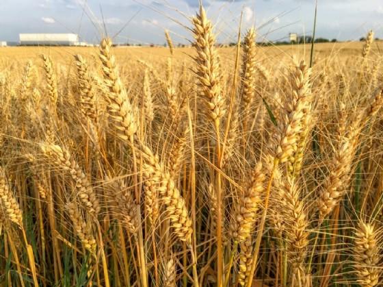 Campo di grano (© Shutterstock.com)