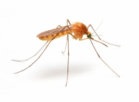 Zika, trovate tracce anche nella zanzara comune o Culex (© Kletr | shutterstock.com)