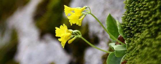 Una primula auricula nel giardino botanico Carsiana