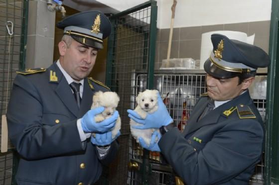 I cuccioli sequestrati dalla Gdf (© Gdf Fvg)