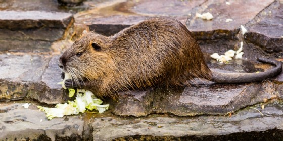Una nutria (© Adobe Stock)