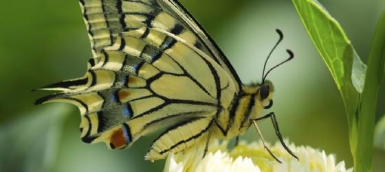 Una delle farfalle di Bordano